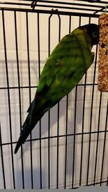 Fully grown green conure parrot
