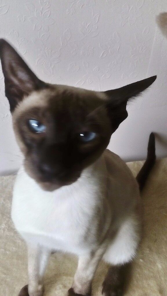 Seal point male siamese kitten