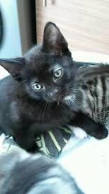 3 male kittens ALL SOLD