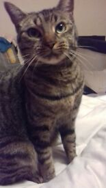 tabby cat female 2 years old
