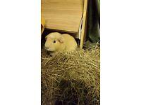 28 week old guinea pig boys