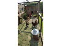 Complete Used Hen/Chicken Starter Kit inc. 4 Hens (Coop/Hut, Galvenized Feeder, Drinker & Feed Bin)