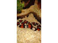 Exo terra vivarium with milk snake