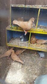 Pigeon for sale in Hackney