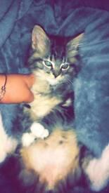 Kitten - SOLD