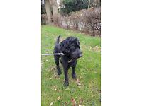 Standard Poodle crossed with German Shepherd (Shepadoodle)