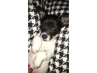 Jack russell pup bitch