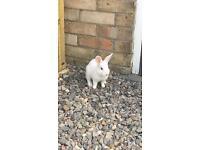 White Bunnies - Lion Head x Norwegian Dwarf Rabbit