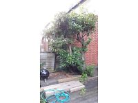 Free mature rhododendron plant
