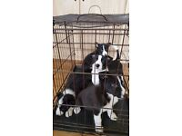 1 Border Collie pup top pedigree