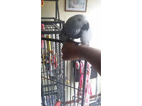 African grey young parrot for sale with cage
