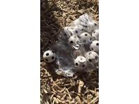 13 football drawer knobs