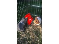 2 Male Guinea Pigs And Cages