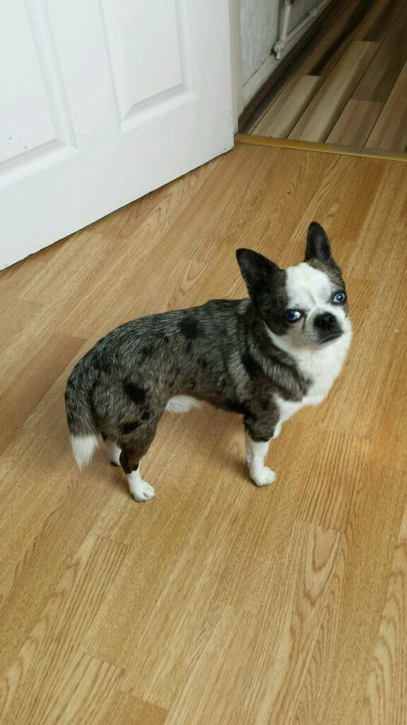Beautiful merle chihuahua t cup boy for sale | in Middleton, Manchester |  Gumtree