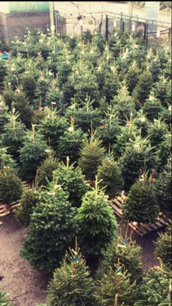 Real Christmas Trees Belfast area delivery and installation | in ...