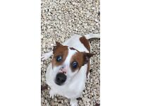 Loving jack Russel looking for new home