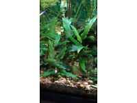 Fish tank Tropical - Live plants and guppies from £1 only.