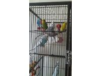 9 budgies and huge cage