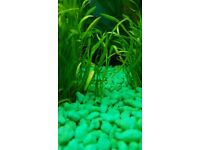 Lots of Assassin Snails for Sale