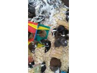 Young mice for sale