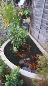 ****GOLD FISH*** FOR SALE *** £10 EACH