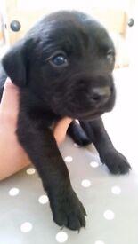 Labrador puppies UPDATED