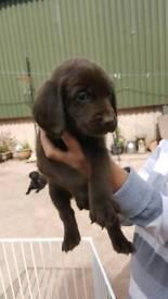 Lab x springer pups