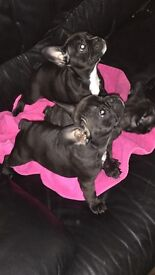Stunning Kc registred French bulldog puppies for sale