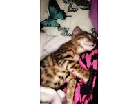 Stunning Bengal Cat for Sale