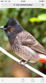 red vented bulbul cock