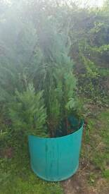 4 x approx 5ft Conifers ready to be planted