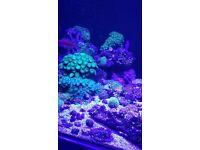 Marine fish tank corals