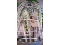 Baby Zebra Finches for sale , bread indoors , ready in 4 weeks
