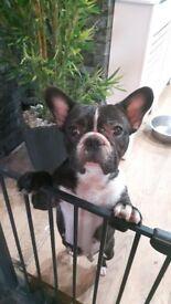 French bulldog girl