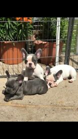 KC Reg Blue & Blue Pied French Bulldog Puppies