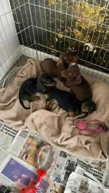 Last choc boy Miniature dachshund kc reg smooth haired pra cord 1 clear