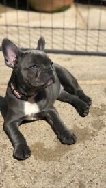 KC Reg Blue & Blue Pied French Bulldog Puppies