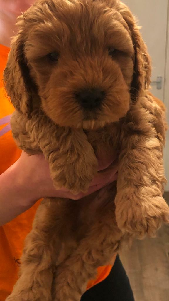 F1b Cockapoo puppy for sale | in Luton, Bedfordshire | Gumtree
