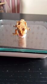 2x crested gecko