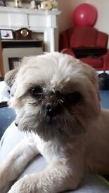 Reluctant sale of family Shih Tzu 3yr old male