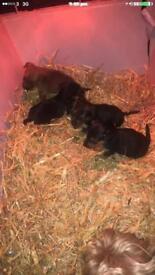 Yorkshire terrier x
