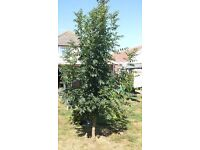 FREE Established Tree