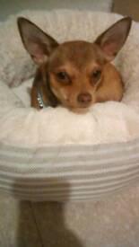 Chihuahua male