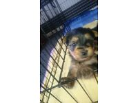 Yorkshire Terrier Puppy, Beautiful Yorkie Boy Ready to Go