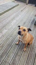 Missy- Our staffy