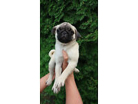 Lovely male Pug pupy looking for home