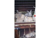 1 male mini lop baby rabbit