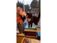 1 female black cat around age of 1 half years and a black and white kitten 4 months old