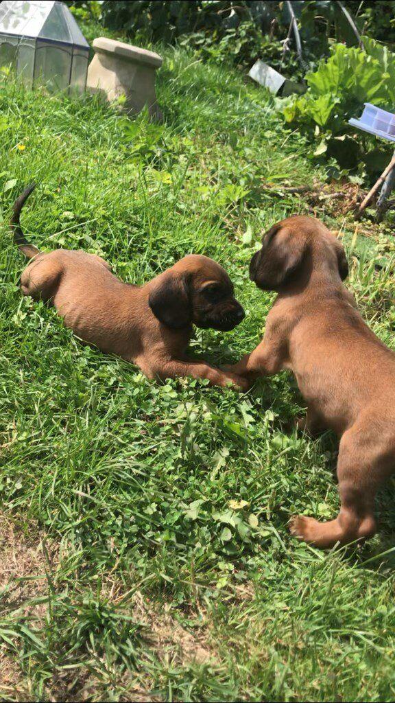 Bavarian Bloodhound Puppies For Sale In Bristol Gumtree