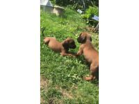 Bavarian Bloodhound puppies for sale
